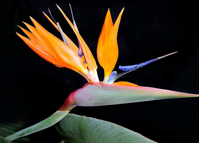 Mixed Strelitzia Reginae Seeds, Bird Of Paradise Flower Seeds, 100pcs/pack