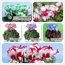 free ship 40seeds Persian Buttercup Seed POT FLOWER PLANT GARDEN BONSAI DIY HOME PLANT