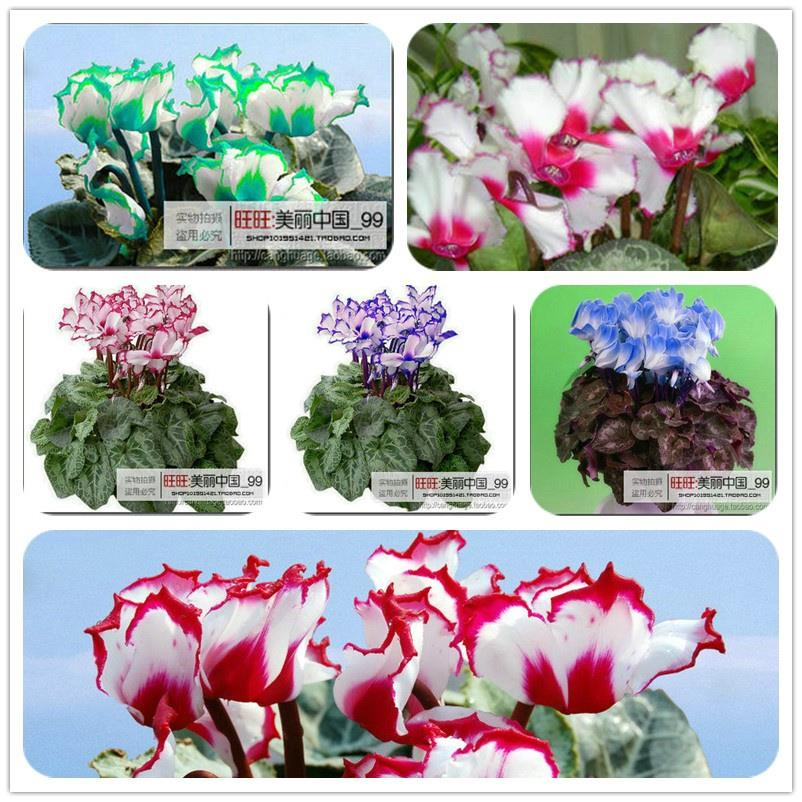 free ship 40seeds Persian Buttercup Seed POT FLOWER PLANT GARDEN font b BONSAI b font DIY