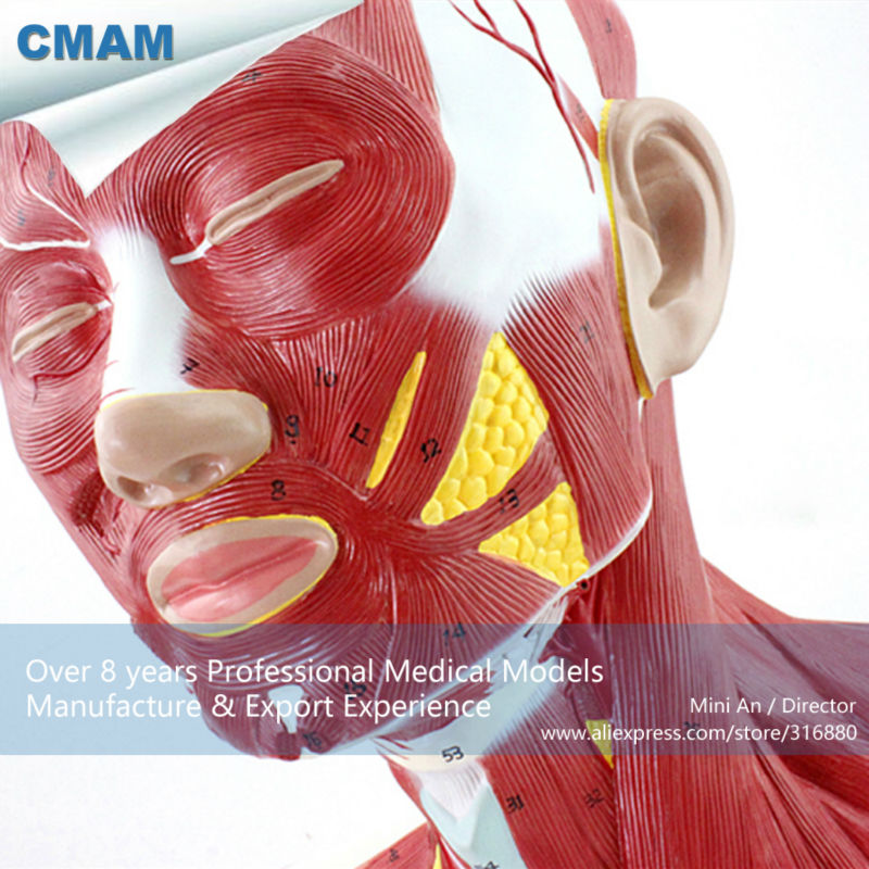 12029 CMAM-MUSCLE06 Human Anatomical Muscle Model of Head and Neck что на юбилей женщине 60 лет