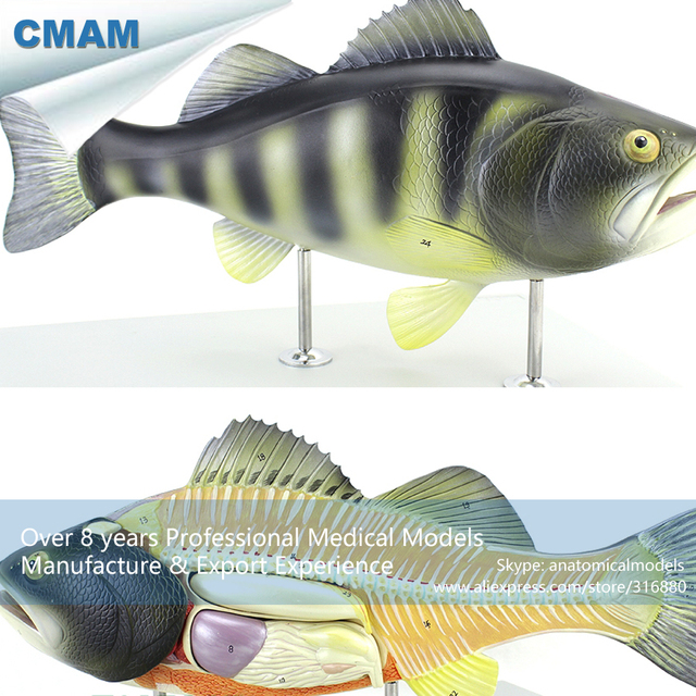 12011 CMAM A30 Plastic Bass Fish Anatomical Model, Scientific ...