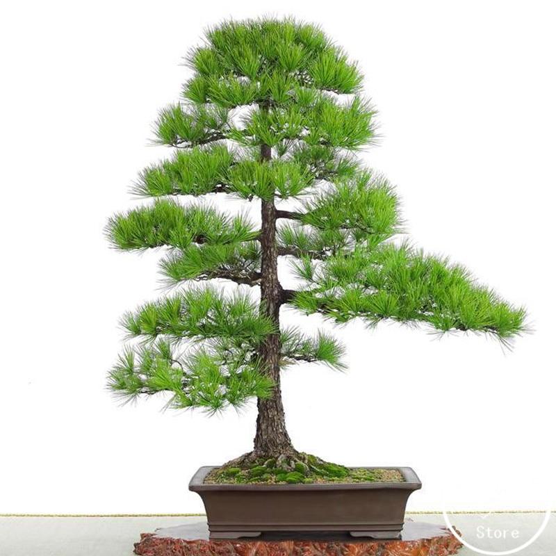 Best-Selling!60 PCS/Bag Thunbergii Garden Black Pine Bonsai Tree Flores Potted Plants Japanese Pine Tree,#R7JROQ