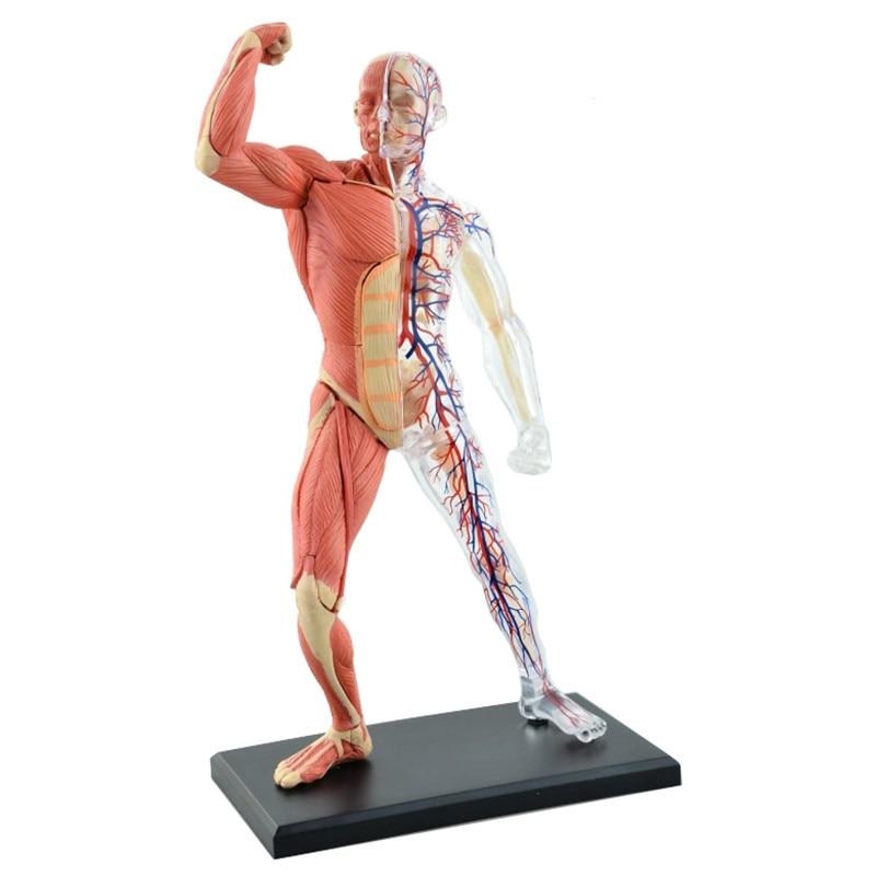 1 Stücke Menschlichen Körper 4D Skeleton Anatomie Schädel Puppe Herz ...