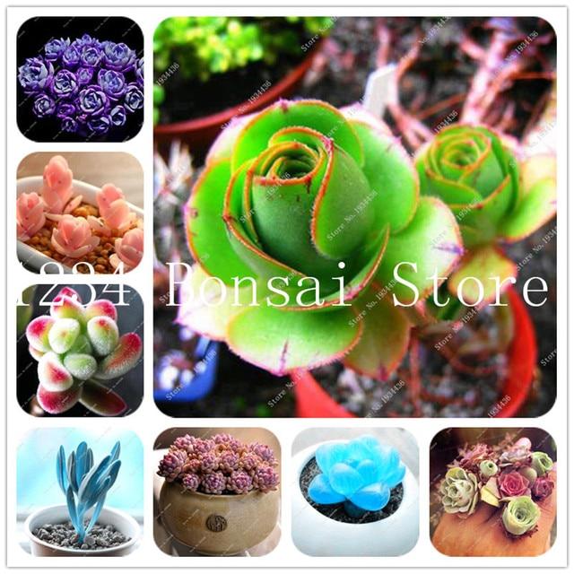 100 pz Succulente bonsai Rare Lithops Bonsai piante da Fiore di Cactus FAI DA TE
