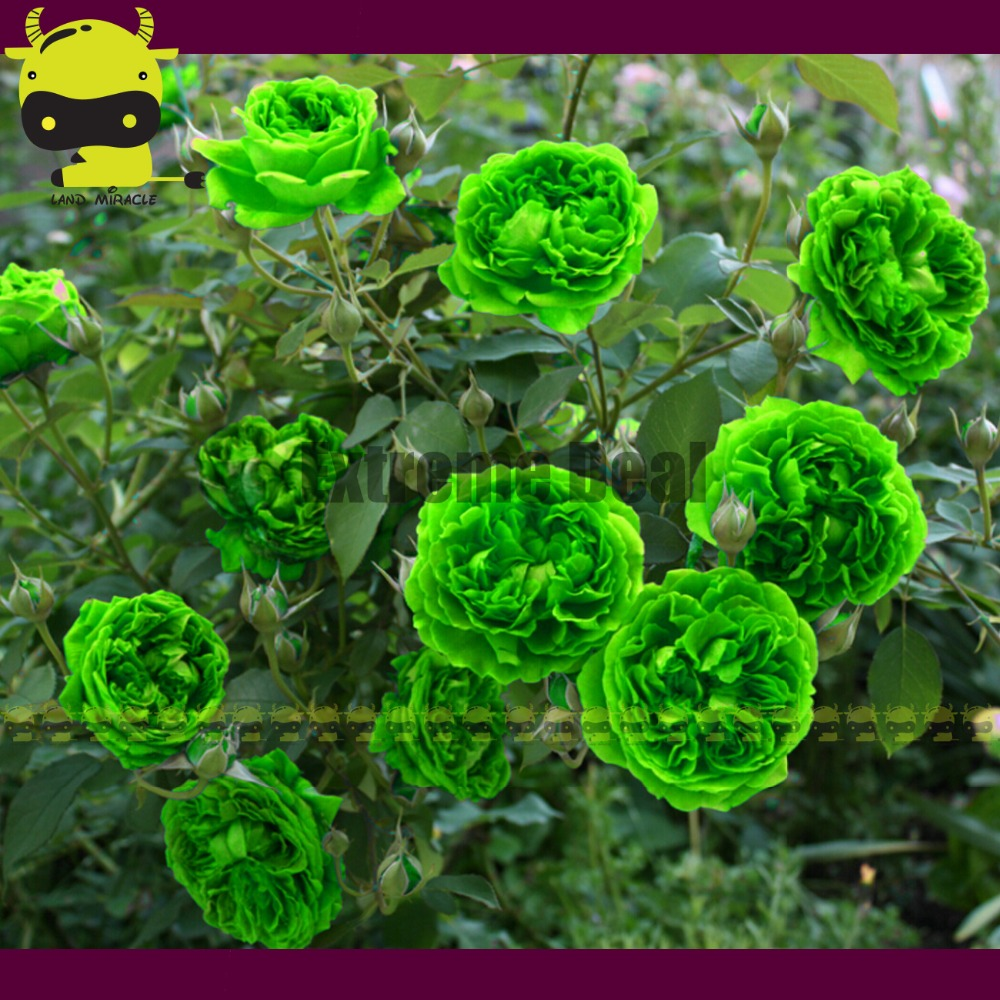 High quality fall flowering trees buy cheap fall flowering trees very rare bright green rose flower tree seeds 50 seedspack bonsai balcony dhlflorist Image collections