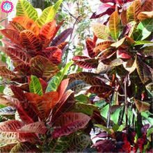100pcs real Variegated Leaf Croton seeds rainbow wooden Codiaeum Variegatum bonsai Seeds Ornamental Indoor Plant for Gardening