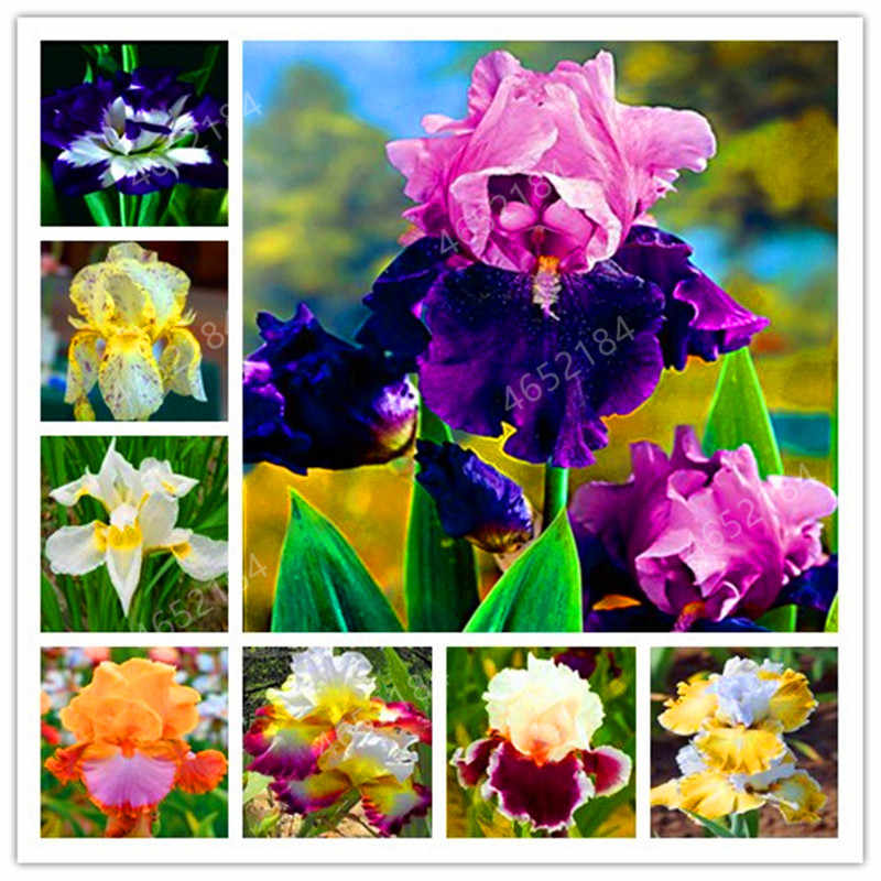 100 Pcs Iris Bonsai, Many Kinds Of Color Iris Potted Iris Orchid Rare Perennial Flower Bonsai Plants For Home Garden