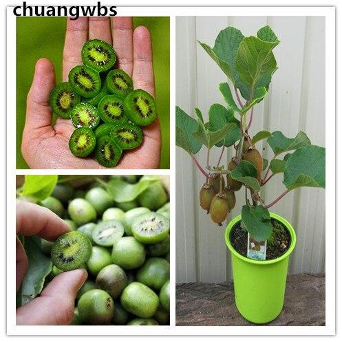 200pcs/bag mini kiwi seeds,kiwi tree,rare Organic fruit seeds,for miniature garden,bonsai potted kiwi plant for home garden