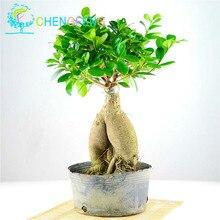 50Pcs Ficus Benghalensis Banyan Tree Seeds