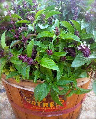 200 Organic Thai Basil Herb Seeds,easy to plant seeds P