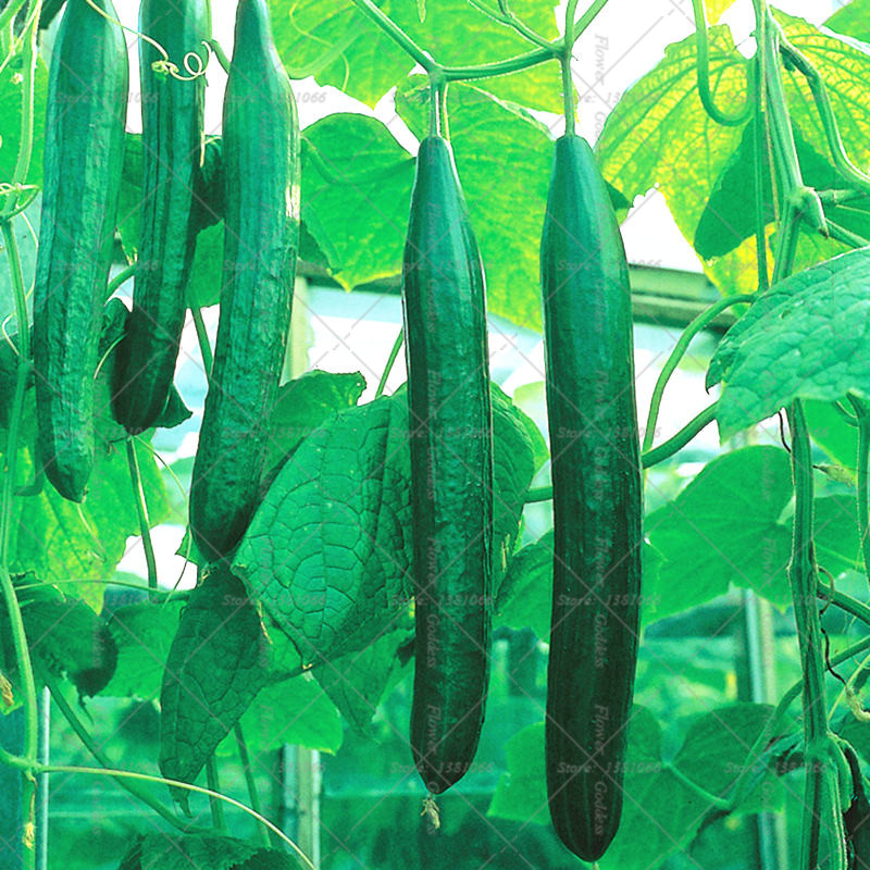 100PCS Big Cucumber Seeds Giant Fruit Rare Vegetable Cucumis Sativus Seeds for Home Garden Planting Free Shipping