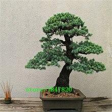 GGG SACRED JAPANESE CEDAR - 20 PCS Semillas bonsai seeds