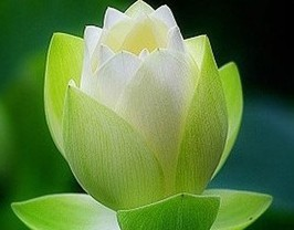 10pcs A Lot Green Lotus Flower Seed With 30pcs Japanese Pine Tree