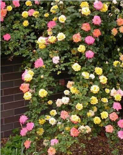 9 Colores Escalada Rose Semillas De Flores Para Choice 300 Unids