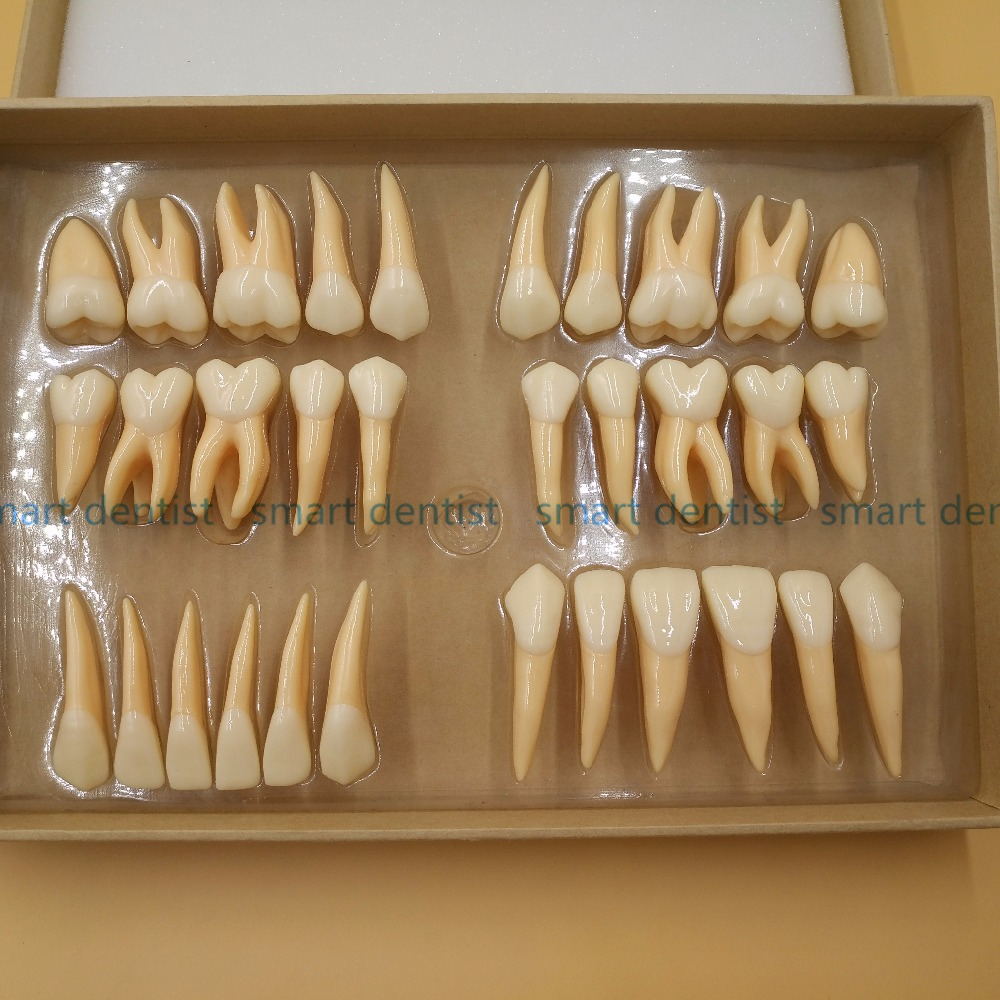 Good Quality 2.5 times 32 pcs adult permanent teeth model Dental gift Communication Tooth Models Odontologia free shipping 1 1 permanent teeth dental tooth teeth dentist dentistry anatomical anatomy model odontologia