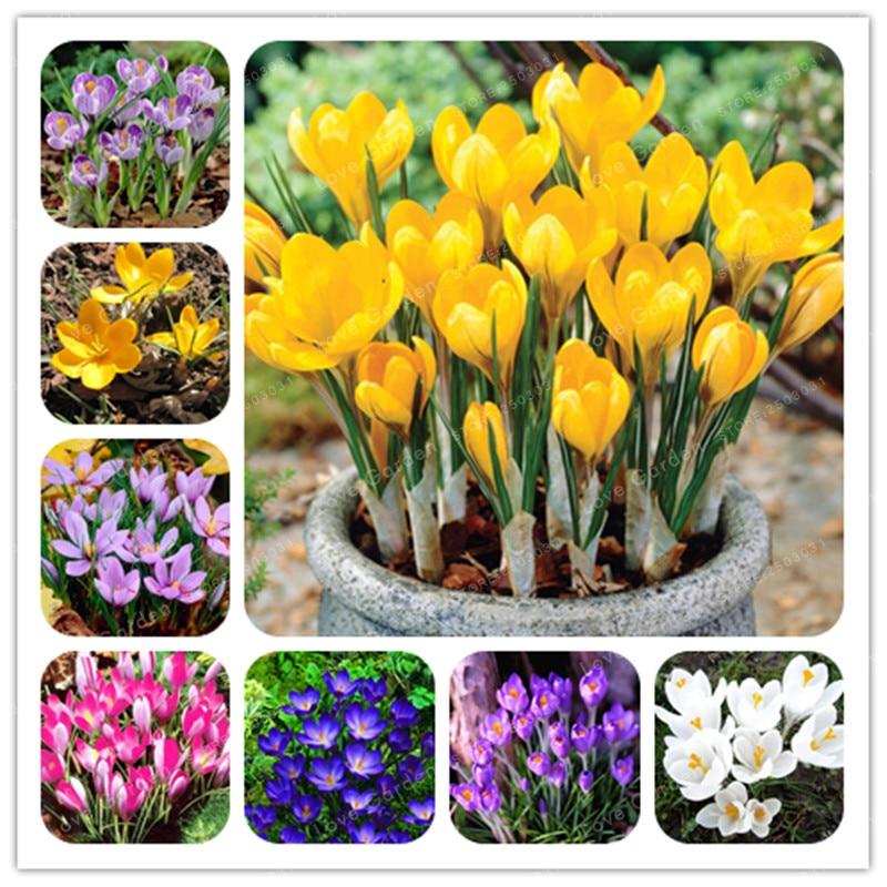 True Crocus Saffron Bulbs Iran Saffron (Not Saffron Bonsai) Flower Bulbs Happy Joy Flowers Bonsai Pot Plant  Home Garden-2Bulbs