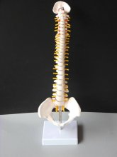 45 CM Human Spine met Pelvic Model, Human Anatomical Anatomy Spine Medische Model + Statief Fexible,