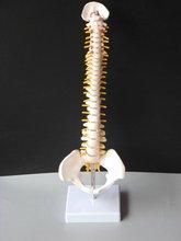 Купить SHUNZAOR 45 см с тазовой человека анатомический анатомия позвоночника медицинские позвоночника модели Учебные ресурсы для студентов медицинских вузов