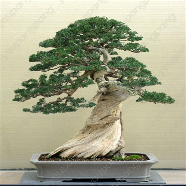 50pcs Japanese Black Pine Natural Indoor Bonsai Tree Wooden Perennial Plants For Home Garden Decoration Best Packaging