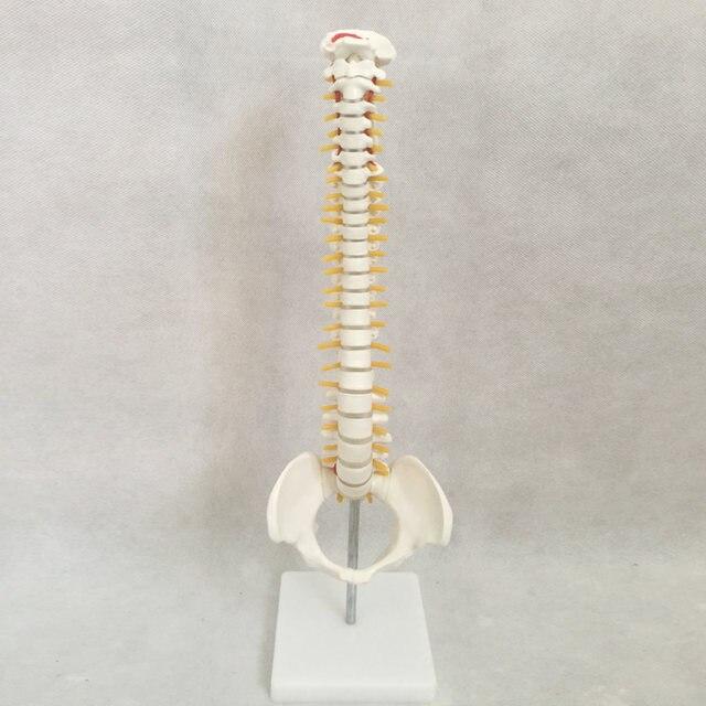 Tienda Online Cráneo humano anatomía esqueleto anatómico goma ...
