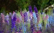Flower Bonsai 100 Pcs Delphinium Mix Giant Delphinium Cultorum Potted Garden Outdoor Ornamental Plantas