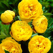 New 2018!10 Pcs/Lot Paeonia Lactiflora bonsai Heirloom Tree Peony plant Hardy Perennial Bonsai Home Garden Potted Flowers(China)