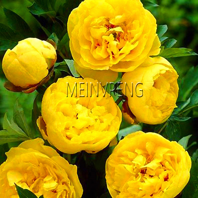 New 2018!10 Pcs/Lot Paeonia Lactiflora bonsai Heirloom Tree Peony plant Hardy Perennial Bonsai  Home Garden Potted Flowers
