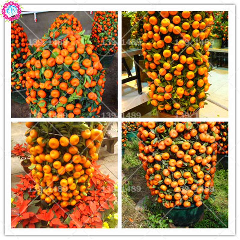40pcs mini climbing orange seeds Full organic fruit seeds Lush edible bonsai tree planting for spring farm supplies easy to grow