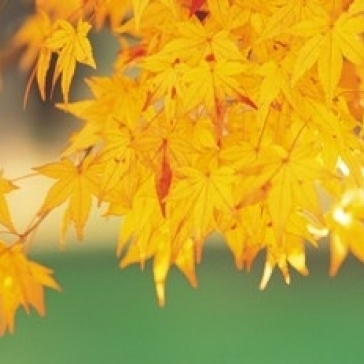 Yellow Maple Leaves  Autumn Poster Print by Panoramic Images (16 x 11)