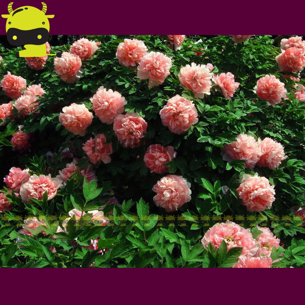 Heirloom Chinese Pink Tree Peony Shrubs Plant Seedling Seeds 5 Pack Strong Fragrant Flowers
