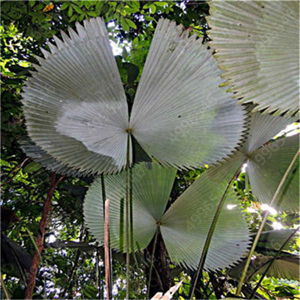 5 Pcs Chrysalidocarpus Lutescens Areca Piante Bonsai Complementi Arredo Casa Palma Pianta Piante D'appartamento Farfalla Palma Bonsai Piante di Aria
