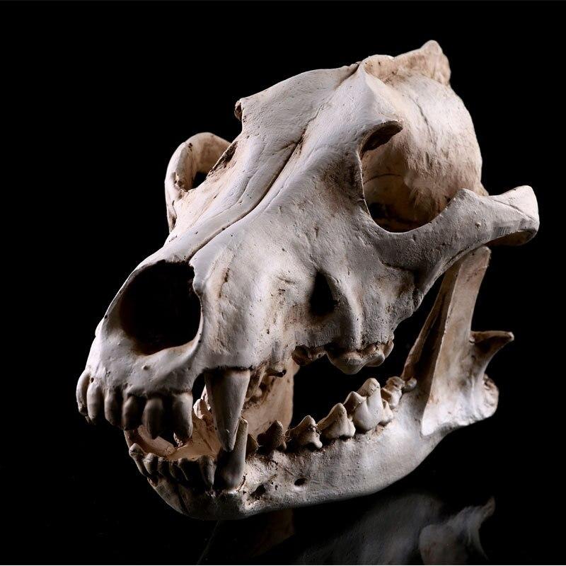 Realista lobos cráneo canino modelo resina esqueleto Médicos enseñanza escultura blanca decoración de Halloween