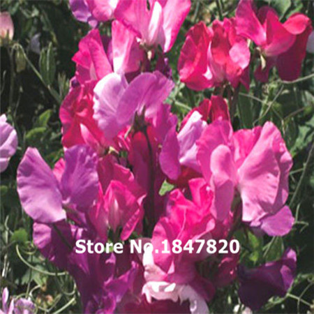 New Rare SWEET PEA CUTHBERTSON MIX Lathyrus Odoratus – 100 Flower Seeds Free Shipping