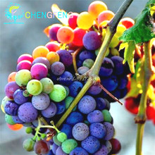 Free Shipping 50pcs Organic Grape Seeds No-GMO Senior Courtyard Plants  Delicious Fruit Seeds