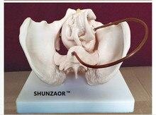 SHUNZAOR feminine pelvic / fetus skull bone / teaching /skeletal model