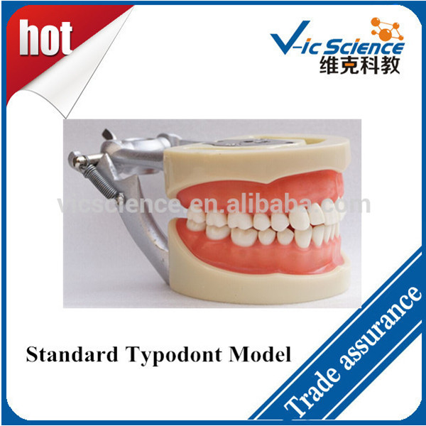 Hot Sale Standard Typodont Model with Soft Gum 2016 dental orthodontics typodont teeth model half metal half ceramic brace typodont with arch wire