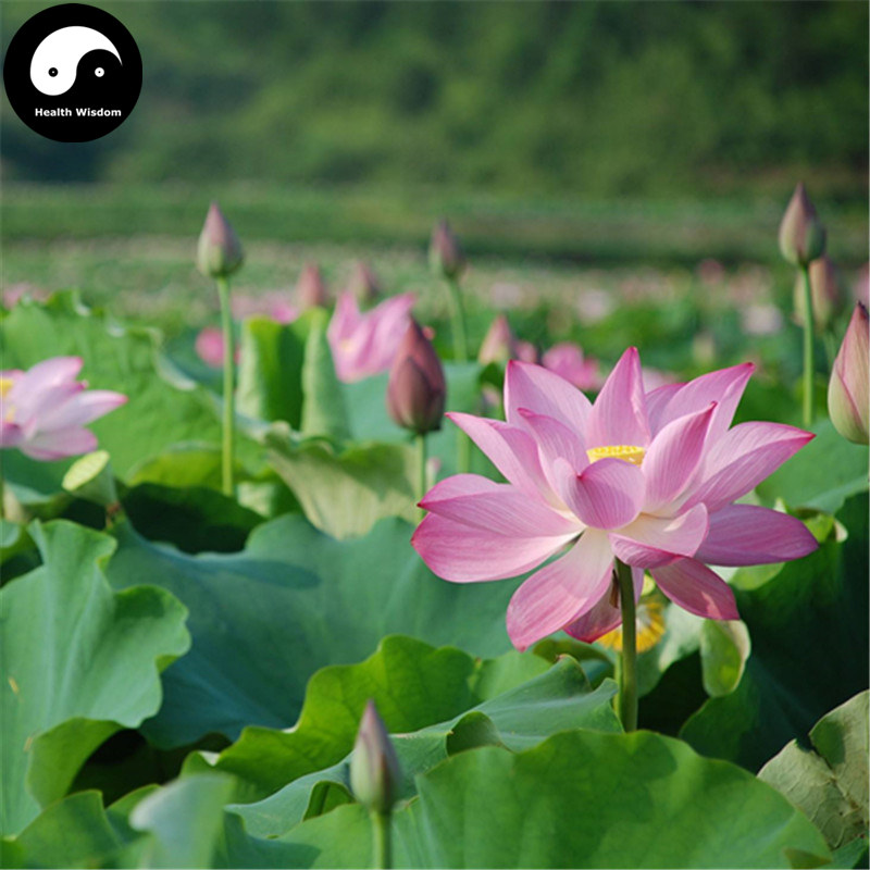 Buy lotus bonsai flower and get free shipping on aliexpress mightylinksfo