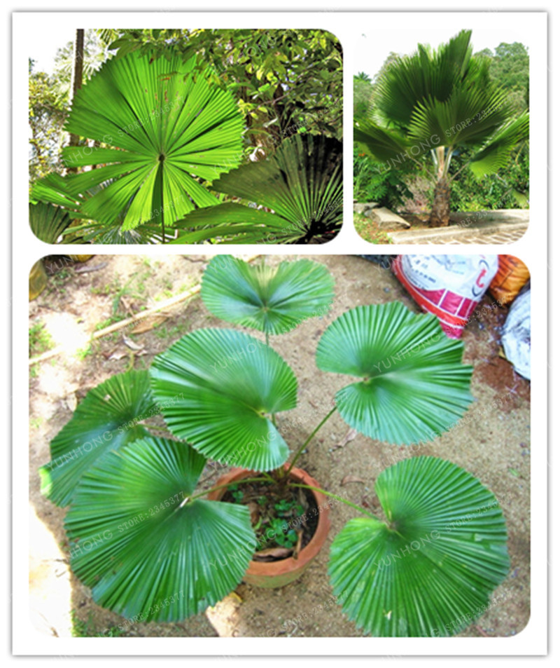 Fan shaped palm seed perennial plant exotic plant bonsai flower fan shaped palm seed perennial plant exotic plant bonsai flower tropical garden decorative flower evergreen plant 10 pcs bag in bonsai from home garden mightylinksfo