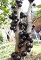 10 шт./пакет мангустин Мангустин фрукты семена Органические фамильные семена плодов дерева семена Богатые Питательными Веществами Королева Тропических Фруктов