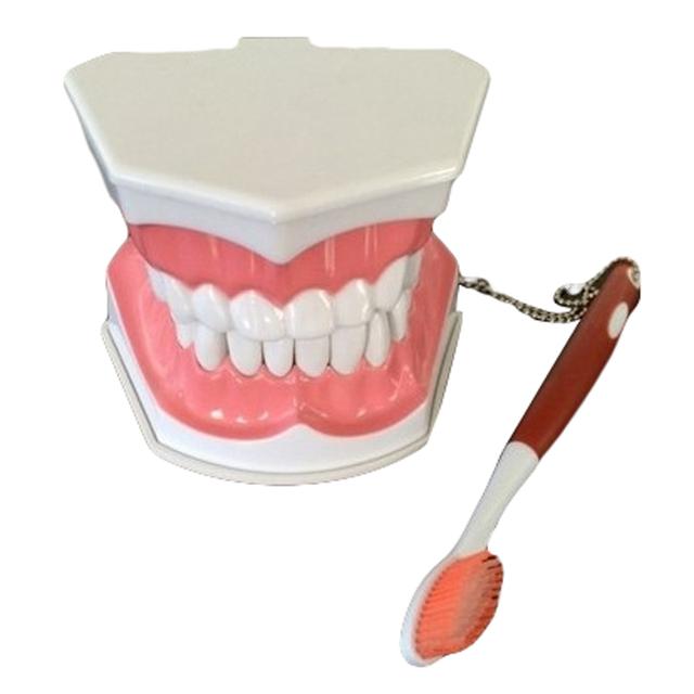 1 PC Dental lab instrumento para criança cabrito do Cuidado do Dente Dental Ensino Modelo de Estudo Modelo Padrão Adulto Escovação com Dente escovação