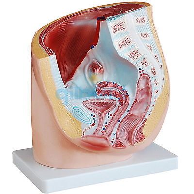 Human Female Pelvic Cross-Section Anatomical Model - Medical Pelvis Anatomy 12440cmam anatomy02 life size female pelvis section anatomical model 3part anatomy models male female models female models