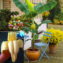100 pcs/bag rare double Potted banana seeds bonsai tree Organic fruit seeds mini/giant dwarf banana plant for home garden