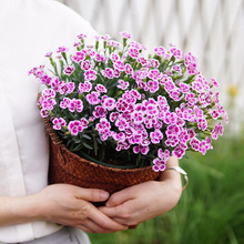 Sale!Dianthus Plants - Ideal Mix Dianthus  Bonsai Flower for home & garden 100 Pieces / lot, B01