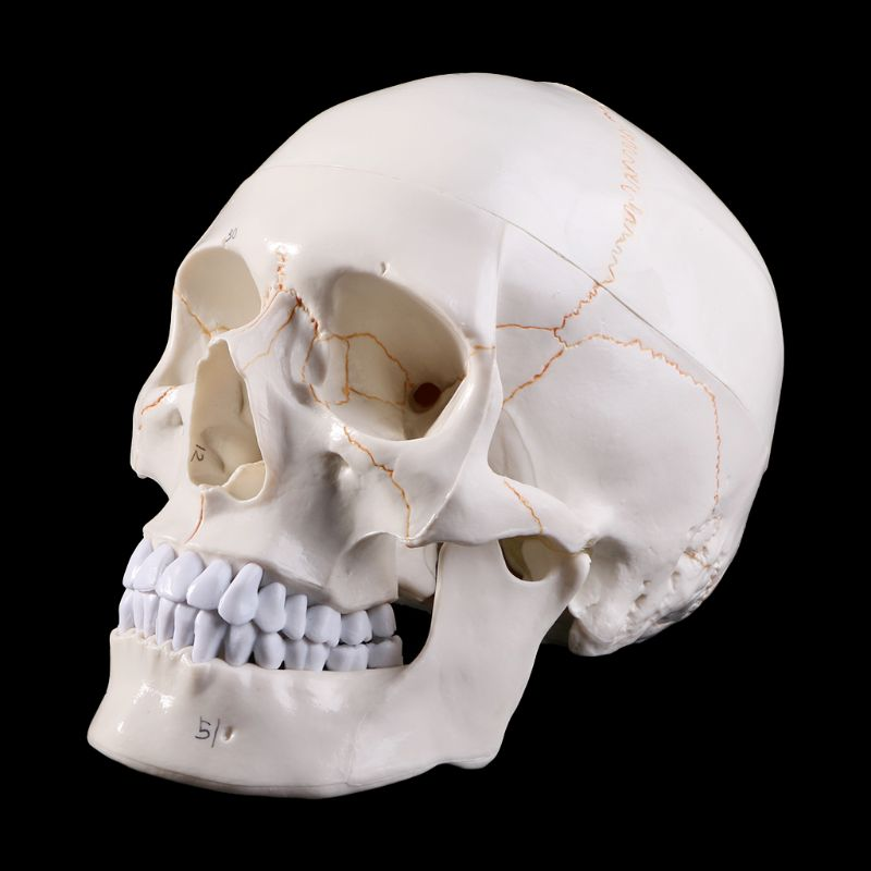 Medical Props Model Life Size Human Skull Model Anatomical Anatomy Medical Teaching Skeleton Head Studying Teaching Supplies