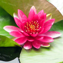 Mix Water Lily seeds,Lotus Seeds,Hydroponics aquatic bowl flower seeds Bonsai balcony plant for home garden 10 seeds/bag