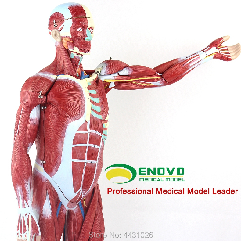 ENOVO Anatomical model of anatomy of human body muscle and internal organs enovo the internal organs of the human body are attached with visceral models to simulate the anatomy of human muscle anatomy