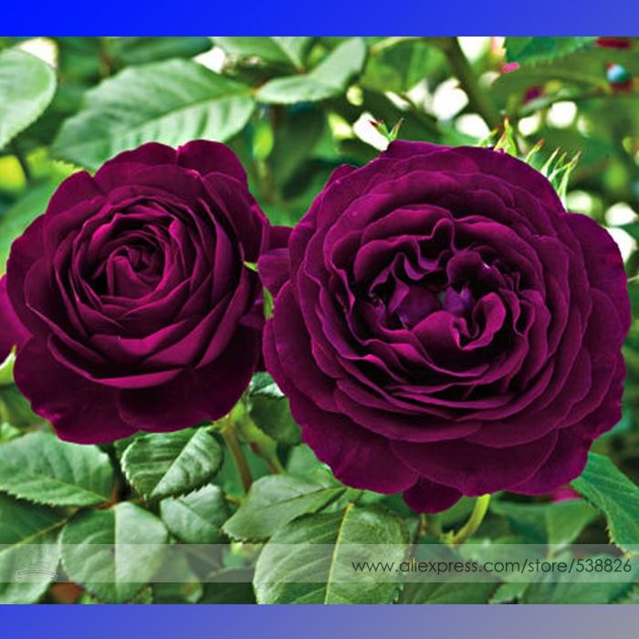 aliexpress  buy heirloom fresh exotic purple rose bush flower, Natural flower