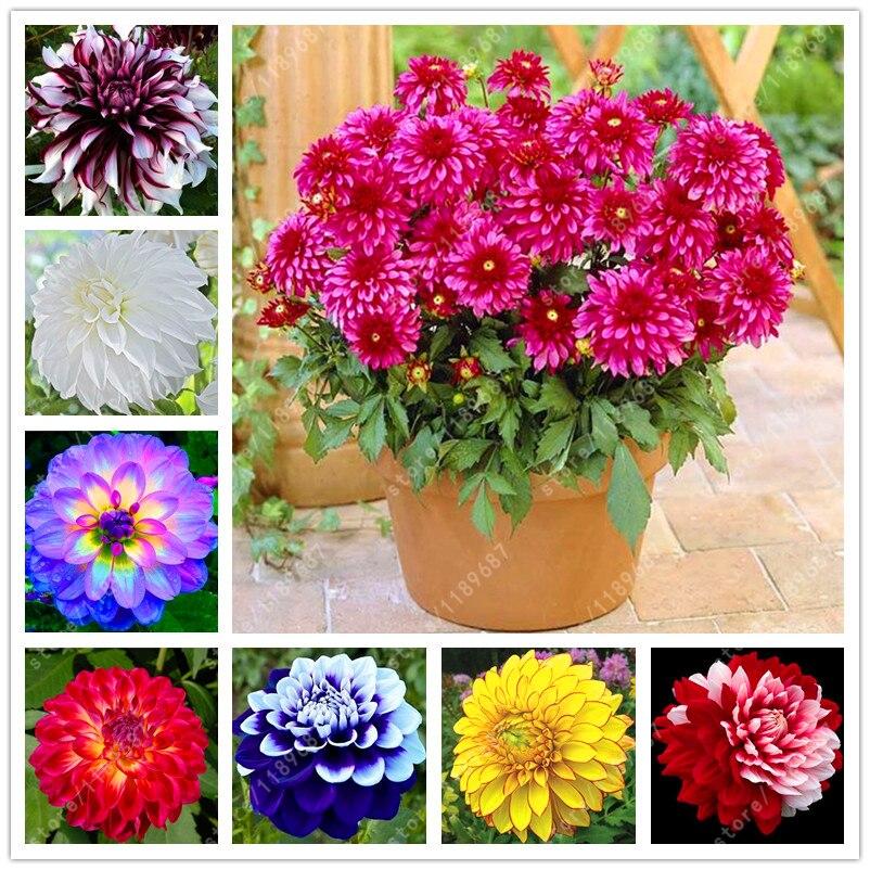 fleurs dahlias-achetez des lots à petit prix fleurs dahlias en