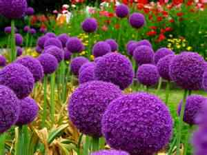 200pcs/bag giant Allium giganteum onion bonsai beautiful purple flower plant home garden flowers onions potted plants