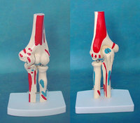 1:1 Life Size Colored Human Elbow Joint Model Anatomical Anatomy Elbow Joint Medical Model Orthopedics Humans Skeleton Model